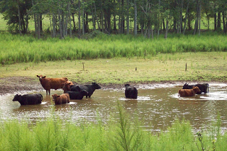 USA BFF Cows Cooling